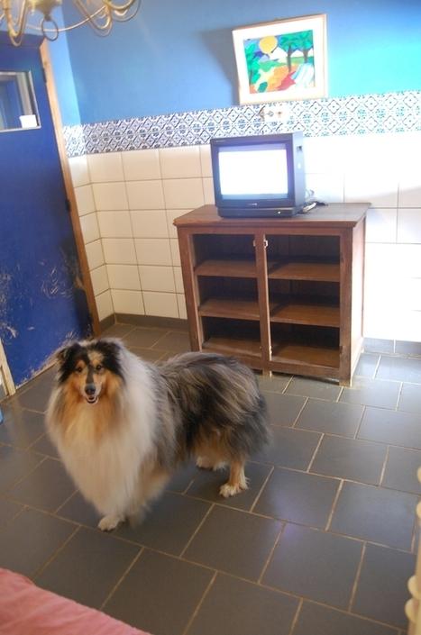 C'est complet au Cleb's Med, hôtel de luxe pour chiens - lavenir.net   chiens shetland   Scoop.it