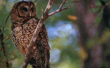 Loggers Get the OK to Kill Endangered Spotted Owls   Conservation & Wildlife   Scoop.it