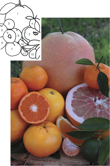 Sequencing of diverse mandarin, pummelo and orange genomes reveals complex history of admixture during citrus domestication | Plant Genomics | Scoop.it