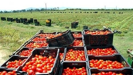 Algérie Presse Service - La tomate industrielle à Guelma, une filière engagée dans une dynamique de développement durable | Fruits & légumes à l'international | Scoop.it
