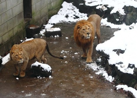 Chinese Zoo Visitors Hit Lions with Snowballs for Fun   Nature Animals humankind   Scoop.it