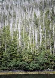 Climate change killing mighty trees in Alaska, researchers say | Climate change challenges | Scoop.it