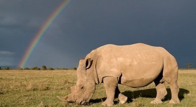Rhino poaching toll reaches new high | Eco News | Kruger & African Wildlife | Scoop.it