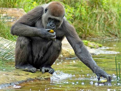 Did humans come from the seas instead of the trees? Much-derided theory of evolution about aquatic apes is debated in London | Aux origines | Scoop.it