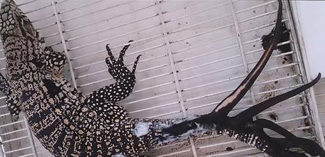 Un lézard a six queues découvert en Argentine | Biodiversité & Relations Homme - Nature - Environnement : Un Scoop.it du Muséum de Toulouse | Scoop.it