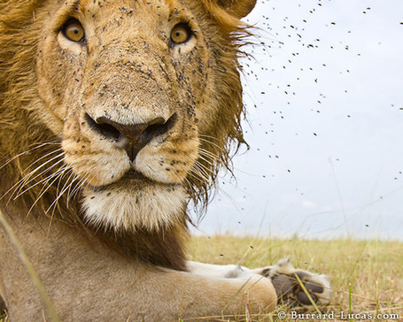"Close-Up Photos of Wild Lions Captured with an Armored ""BeetleCam"" #photog #robot 