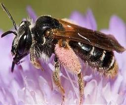 Bees 'betray' their flowers when pollinator species decline | Sustain Our Earth | Scoop.it