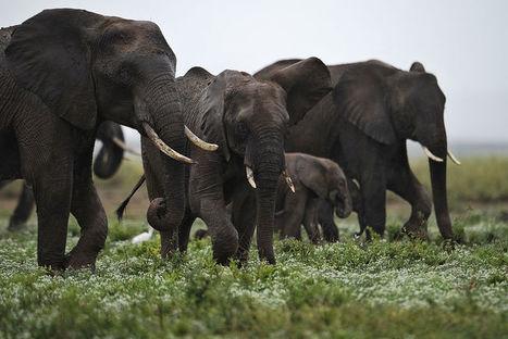 Zimbabwe : la vente d'éléphanteaux à la Chine« écœure» les ONG | Je, tu, il... nous ! | Scoop.it