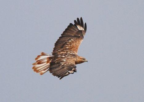 Long-legged Buzzard - Britain next?   Bird ID   Scoop.it