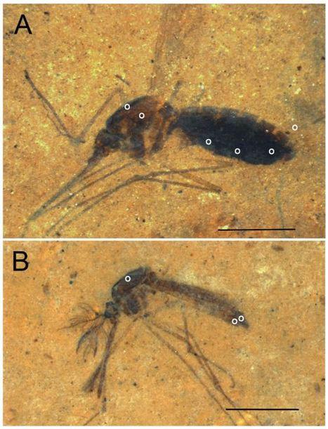 On a (presque) trouvé le moustique de Jurassic Park | EntomoNews | Scoop.it