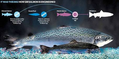 Ready to eat: the first GM fish for the dinner table | Ecology | Scoop.it