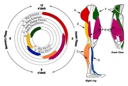 Leg Muscles Used In The Cycling Pedal Stroke | Internet software app tools and other | Scoop.it