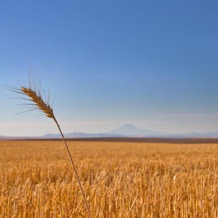 Confirming Seasonal Lows in the Wheat Market? | Successful Farming | Grain du Coteau : News ( corn maize ethanol DDG soybean soymeal wheat livestock beef pigs canadian dollar) | Scoop.it