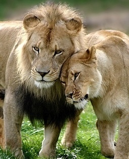 Hunters association to defend its decision on captive-bred lions | Trophy Hunting: It's Impact on Wildlife and People | Scoop.it