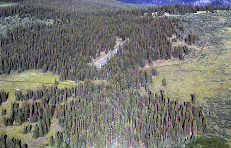 Pine Beetle Epidemic Continues To Slow, While Spruce Beetles Are Just Getting Started | #TreeNews | Scoop.it