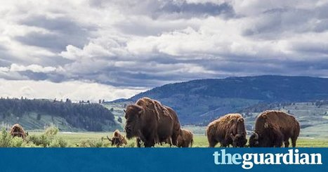Increase in Yellowstone visitors raises park's concerns over wildlife and safety | Lorraine's Interconnections | Scoop.it