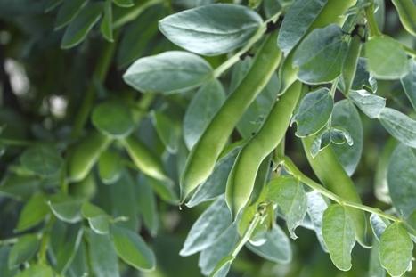Le haricot inspire la recherche contre la punaise de lit | EntomoNews | Scoop.it