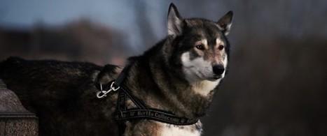 Le mystère de l'origine du chien s'éclaircit | Aux origines | Scoop.it
