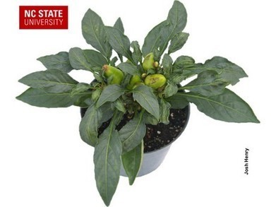 Distorted and stunted growth in ornamental peppers | Horticulture | Scoop.it