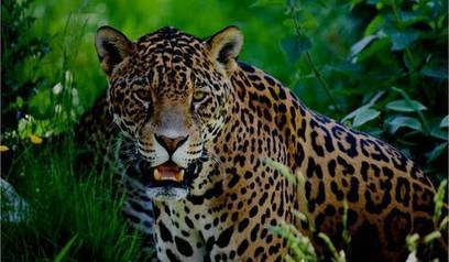 Dogs, Cats, and Scats: Saving Jaguars, One Poop at a Time | Cats Rule the World | Scoop.it