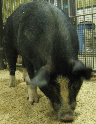 Berkshire pig - Animal of the Month - April | Agricultural Biodiversity | Scoop.it