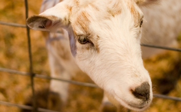 841 Goats, Some Lame and Starving, Found in Santa Cruz Barn   Nature Animals humankind   Scoop.it