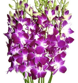 Purple Dendrobium Orchids - Fresh Flowers Review - Purple Dendrobium Orchids - Fresh Flowers Review | My Private Room | Scoop.it