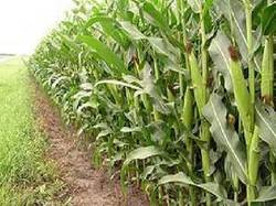 Ghana: MOFA recommends new maize varieties | MAIZE | Scoop.it