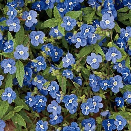Georgia Blue Veronica | Springhill Nursery | Scoop.it