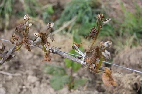 Vendée : viticulture, le gel endommage les vignes vendéennes [VIDEO] - AGRI85 | Agriculture en Pays de la Loire | Scoop.it