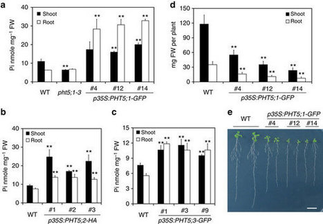 Nature Com: Identification of plant vacuolar transporters mediating phosphate storage | Plant phosphate nutrition | Scoop.it