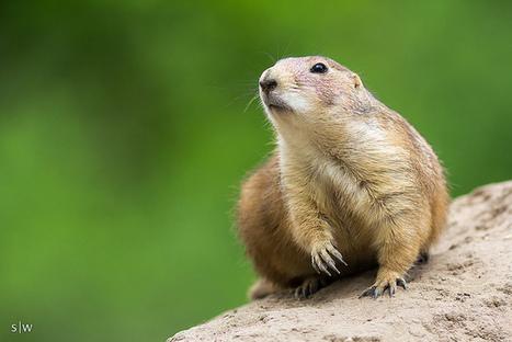 Präriehund | Amazing Animals | Scoop.it
