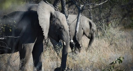 Poachers kill half of Mozambique's elephants in 5 years: survey | All about water, the oceans, environmental issues | Scoop.it