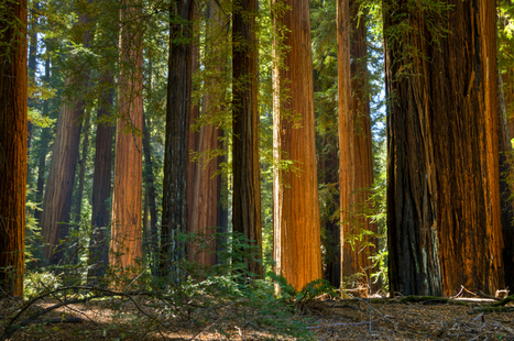 New Lawsuit To Protect  Richardson Grove Redwoods | GarryRogers Biosphere News | Scoop.it