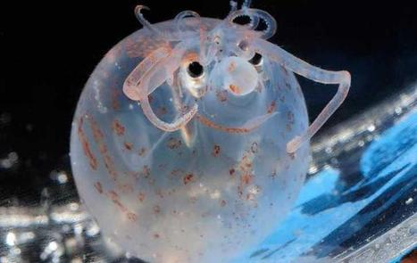 astronomy-to-zoology: Banded Piglet Squid ... | Amateur and Citizen Science | Scoop.it