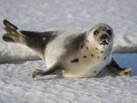 UNITED KINGDOM: EU ban on trade in seal fur set to be overturned | Aquaculture and Fisheries - World Briefing | Scoop.it