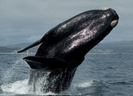 Urge Environmental Protection Agency to Protect Endangered Right Whales - ForceChange | Environmental Protection Agency - Emily | Scoop.it