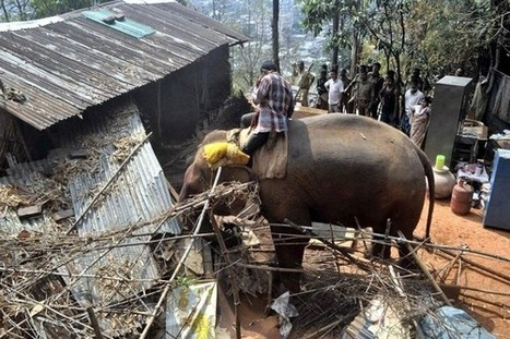 Animal rights outcry as endangered elephants used as 'bulldozers' in India - AOL Travel UK | Plant Based Transitions | Scoop.it