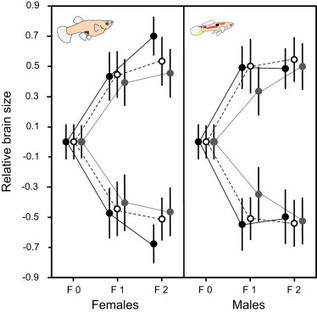 Artificial Selection on Relative Brain Size in the Guppy Reveals Costs and Benefits of Evolving a Larger Brain | Animal Behaviour BSX2018 | Scoop.it