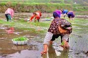 Climate Resilient Rice: More Crops per Drop   Asian Development Bank   Resilience   Scoop.it