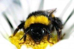 Managed honeybees linked to new diseases in wild bees | Virology News | Scoop.it