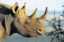 Thousands sign petition to prevent E Cape rhino hunt | What's Happening to Africa's Rhino? | Scoop.it