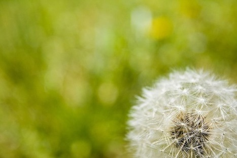 These Tires Are Made from Dandelions and Soy | Smart News | Hevea brasiliensis | Scoop.it