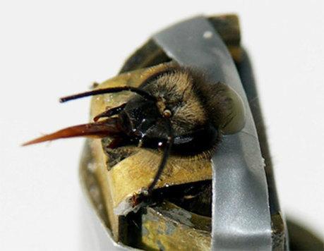 Le mystère de l'intelligence des abeilles enfin éclairci   Chronique d'un pays où il ne se passe rien... ou presque !   Scoop.it