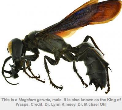 Megalara garuda: the King of Wasps   Amazing Science   Scoop.it
