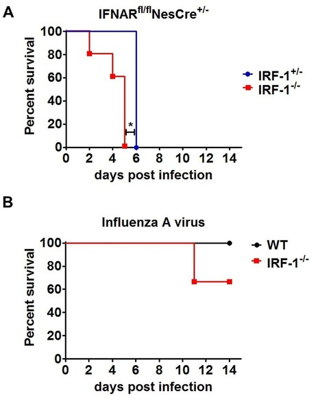 Interferon Regulatory Factor-1 Protects from Fatal Neurotropic Infection with Vesicular Stomatitis Virus by Specific Inhibition of Viral Replication in Neurons | Host Cell & Pathogen Interactions | Scoop.it