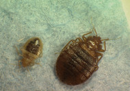 Bed Bugs Dying After Blood Meal From People Who Had Taken Merck & Co.'s Stromectol | Amazing Science | Scoop.it