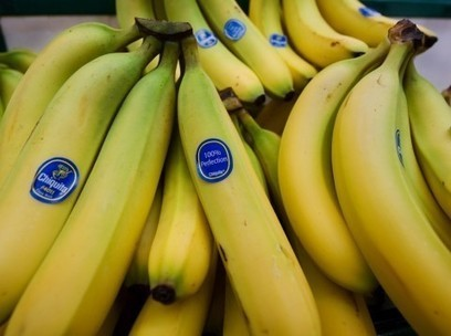 How synthetic biology could solve our banana problem | Synthetic Biology | Scoop.it