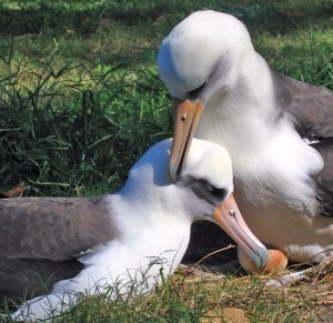 #Midway Atoll: The #Plastic Plight of the #Albatross – By Jack Eidt | Now is the Time to Help our Oceans & it's Species ! | Scoop.it