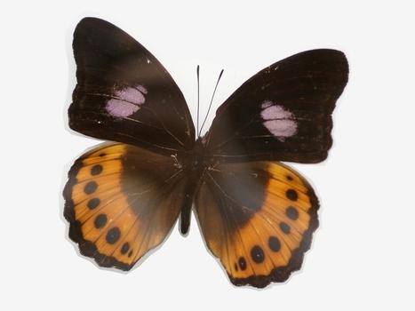 Photo gratuite et libre de droits de papillon asiatique : Hypolimnas pandarus - Papilio pandarus | Rescoop -Faune - Flore - Environnement | Scoop.it
